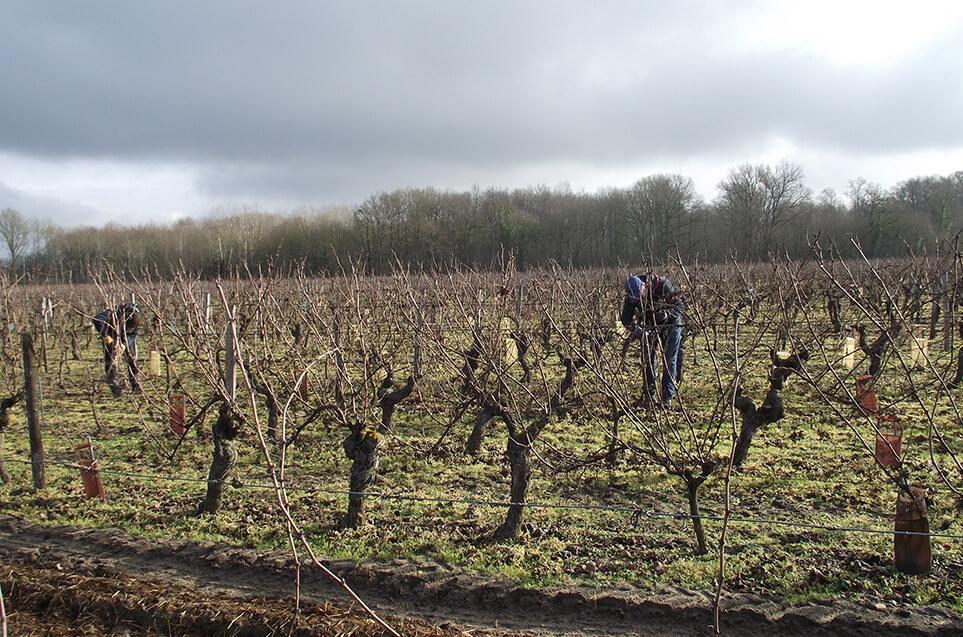 Vignes en hiver, du domaine du Puy Rigault, vignobles en AOC Chinon